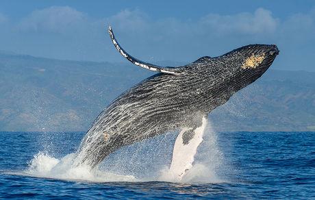 تنها جمعیت نهنگهای گوژپشت غیر مهاجر شناختهشده در جهان