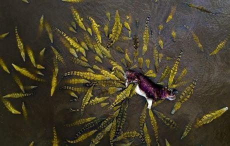 لحظه حمله صدها تمساح به اسب آبی +عکس