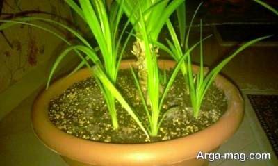 پرورش گل پاندانوس