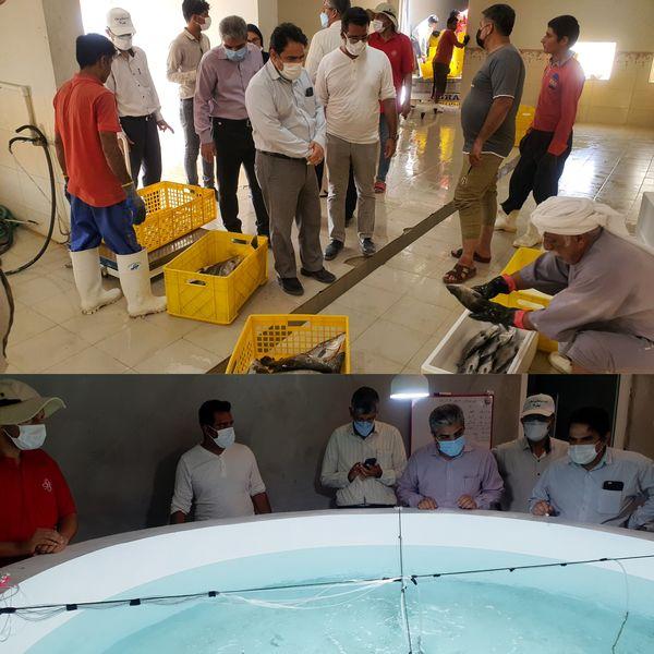 بازدید مدیر کل شیلات هرمزگان از مرکز تکثیر ماهی، بسته بندی و ارسال ماهی شرکت پرورش ماهی در قفس نیکسا