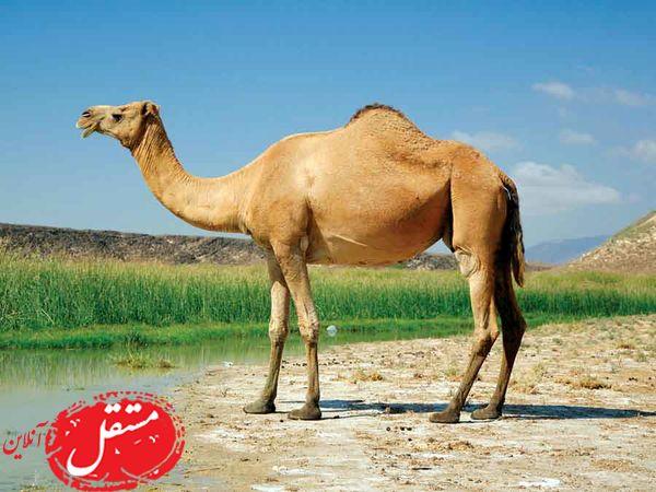 ازدواج لاکچری دو شتر در عربستان جنجال به پا کرد + فیلم و عکس