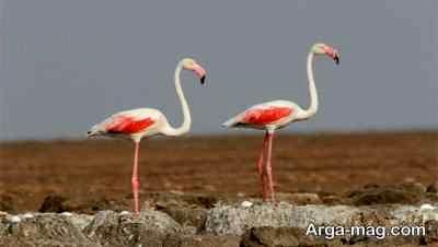 آشنایی با پرنده فلامینگو و دانستنی های جالب درباره این پرنده