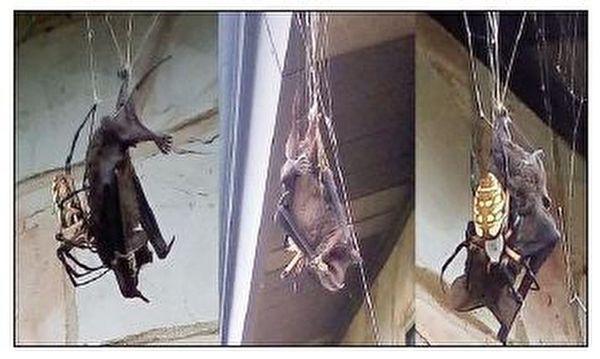 شکار یک خفاش توسط عنکبوت +عکس
