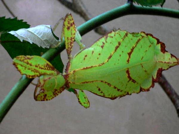 حشرهای عجیبی که شبیه برگ درخت است +عکس