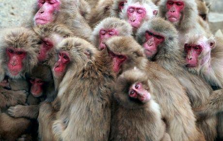 ابتکار میمونها برای گرم کردن خود +عکس